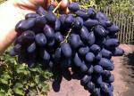 Виноград черенки купить оптом