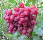 Сорт Велес: купить саженцы винограда почтойналоженным платежом