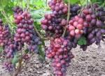 Саджанці та живці винограду купити за доступною ціною