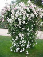 Купити саджанці троянд поштою від виробника оптом