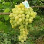 Виноград Аркадия купить в интернет-магазине недорого