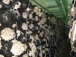 В продаже грибные блоки вешенки