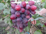 Саджанці та живці винограду купити