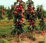 Колоновидні дерева купити за доступною ціною.
