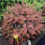 Украсьте свой сад: барбарис купить саженцы