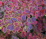 Декоративний барбарис — розкішна прикраса саду!