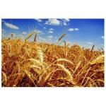 Пропонуємо купити озиму пшеницю сорту Гарантія Одеська