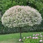 """Покупайте самые разные лиственные деревья в рассаднике """"Биосфера-Л"""""""