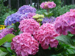 Гортензія садова крупнолиста — прикраса Вашого саду!