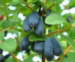 Жимолость їстівна - джерело вітамінів та антиоксидантів!