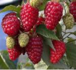 Лучшие новые сорта малины на предприятии Анастюк