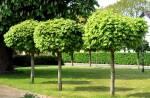 """Широкий вибір карликових декоративних дерев в """"Біосфера-Л"""""""