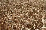 В наявності насіння озимої пшениці Наснага (перша репродукція)