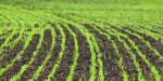 Придбайте якісне сертифіковане насіння озимої пшениці
