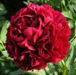 Півонія - дивовижна окраса вашого квітника!
