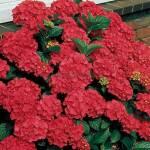 Великий вибір кольорів садової гортензії у нашому магазині