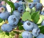 Реалізуємо саджанці лохини оптом і в роздріб в Україні