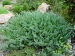 Пропонуємо купити горизонтальний вічнозелений ялівець