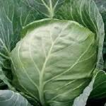 Якісне насіння надраннього гібрида капусти