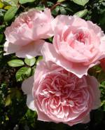 В асортименті якісні саджанці піоновидної троянди