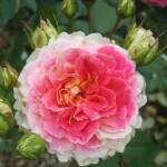 В асортименті великий вибір різних сортів троянд