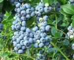 Пропонуємо купити саджанці лохини в Києві