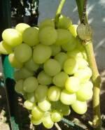 Купуйте саджанці винограду «Аркадія»