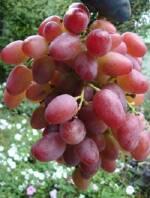 Предлагаем купить саджанці винограду «Водограй»