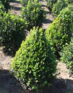 Пропонуємо купити самшит вічнозелений з грудкою, Вінниця, Житомир, Україна