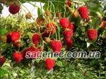Высокоурожайные и здоровые саженцы малины Полана