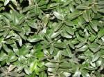 Шукаєте рослину самшит?