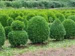 Дерево самшит оптом і в роздріб: ціни доступні