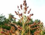 Растения для корма скота: суданская трава. Для засушливого климата