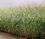 Семена суданской травы (розница, опт) - дешево!