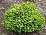 Мініатюрна красуня у вашому саду - ялина звичайна Літл Джем