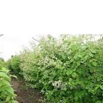 Саженцы малины: расцветают кусты
