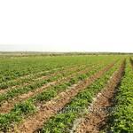 Большое поле саженцев клубники