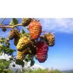 Саженцы малины Краса России