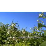Екологически чистые саженцы малины