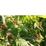 Выращивание малины Украина