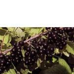 Купить саженцы смородины Юбилейная Копаня в Украине