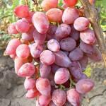 Саженцы винограда Тимур Розовый