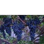 Черенки винограда Академик