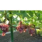 Черенки винограда Лада Т