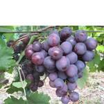 Черенки винограда Памяти Учителя