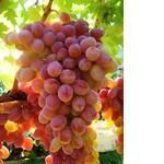 Саженцы винограда Гелиос