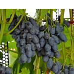 Саженцы винограда Блэк гранд