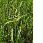 Суданская трава