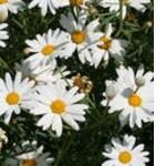 Экстракты растительные в ассортименте (ромашка) - фото