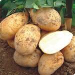Картофель Сантэ (фото)